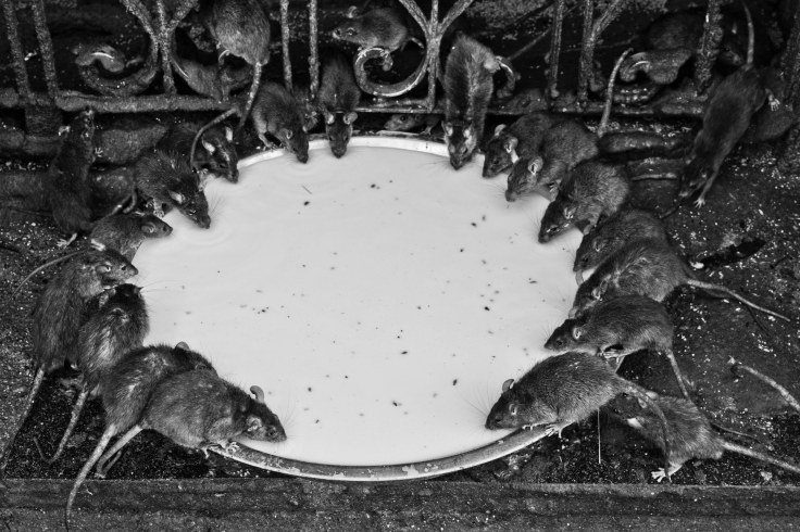 Bikaner mouse temple