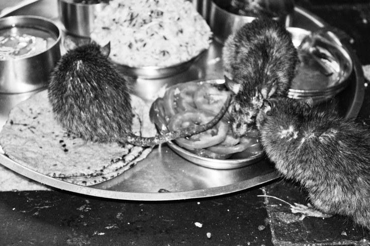 Karni mata mouse temple