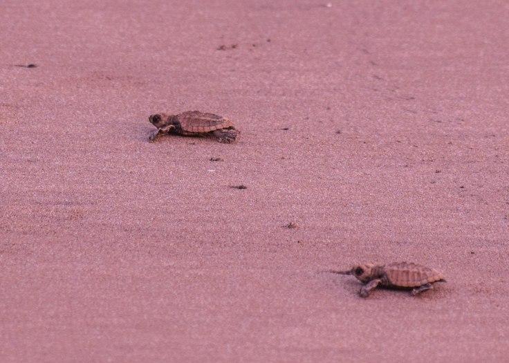 Anjarle Turtle Festival (2)