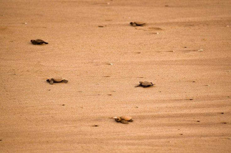 Anjarle Turtle Festival (5).jpg