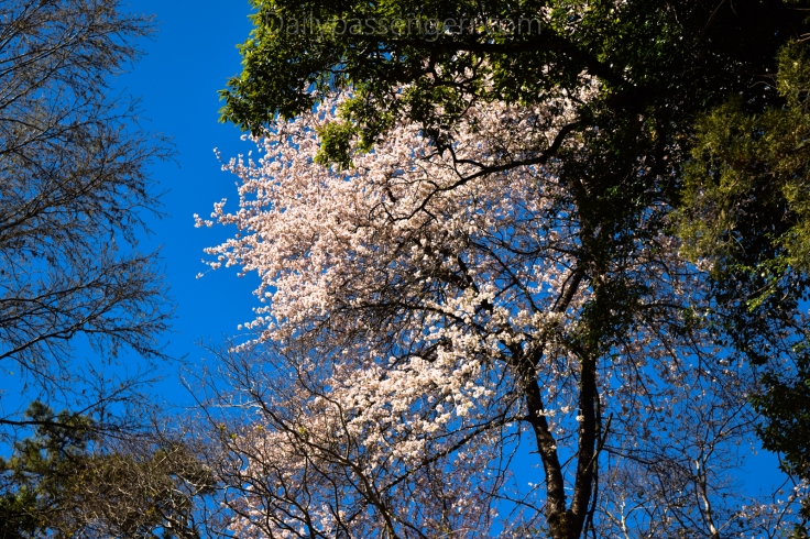 Cherry Blossom Shillong (12 of 18)