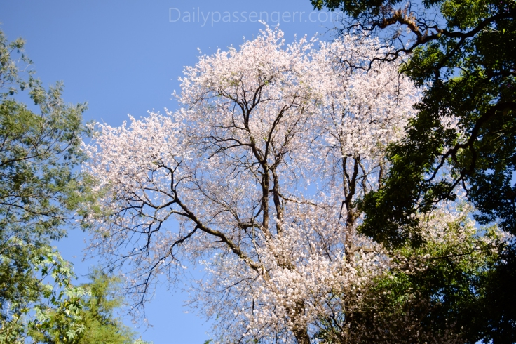Cherry Blossom Shillong (13 of 18)