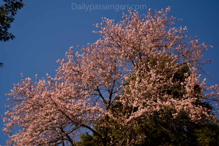 Cherry Blossom Shillong (14 of 18)