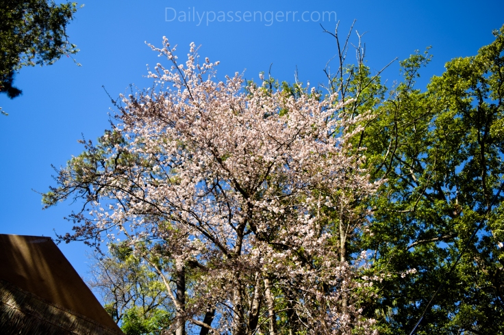 Cherry Blossom Shillong (9 of 18)