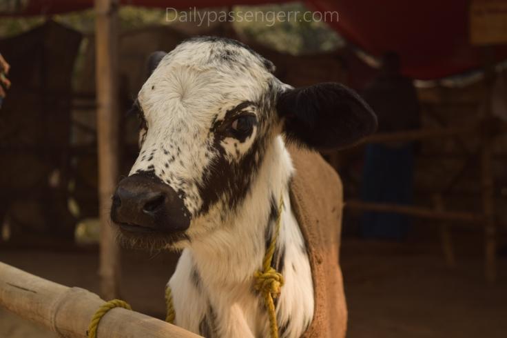 Sonepur mela cattle